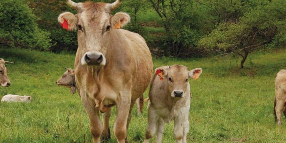 Revisarán genética de vaca tras parir cuatro terneros